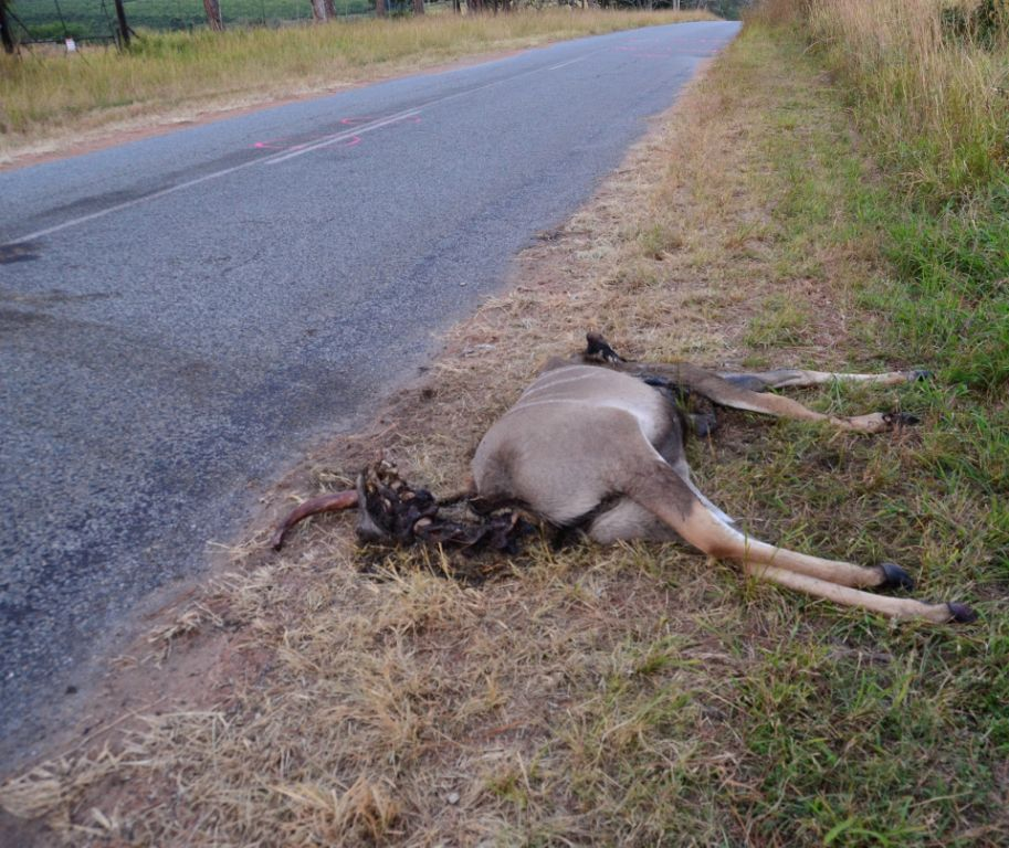 If this kudu was a human body lying on the side of the road after being hit by a car, would you care more? Let's save our animals. Be alert at all times.