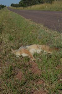 Continuing road kills pose a threat to wilm,dlife, create road safety issues and compromises the environment of animals.